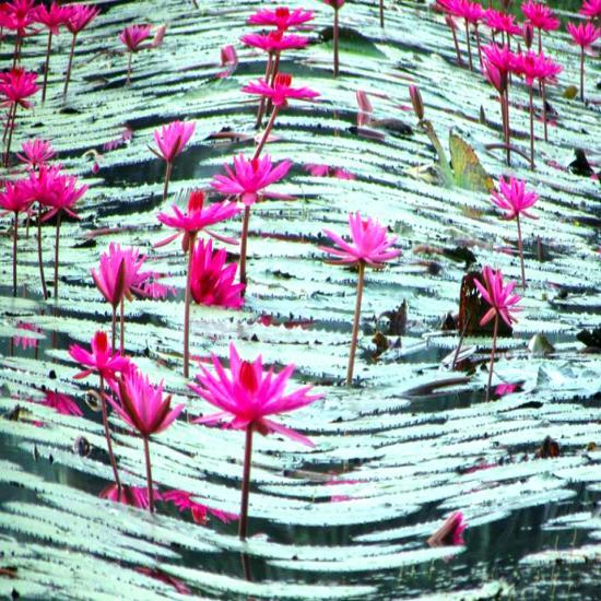 Maya Yoga House The Symbolic Meaning Of The Lotus Flower